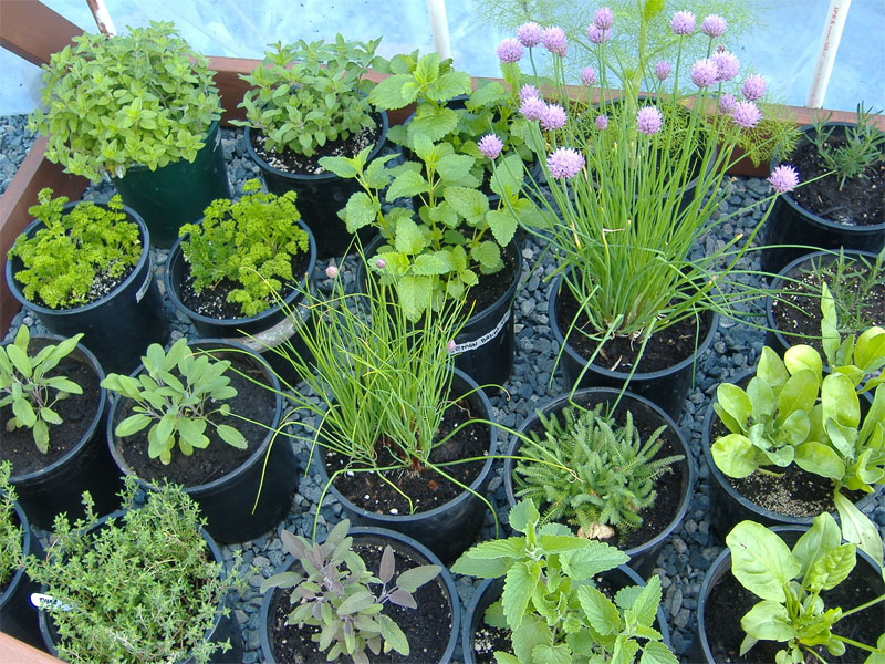 Herbs as insecticides